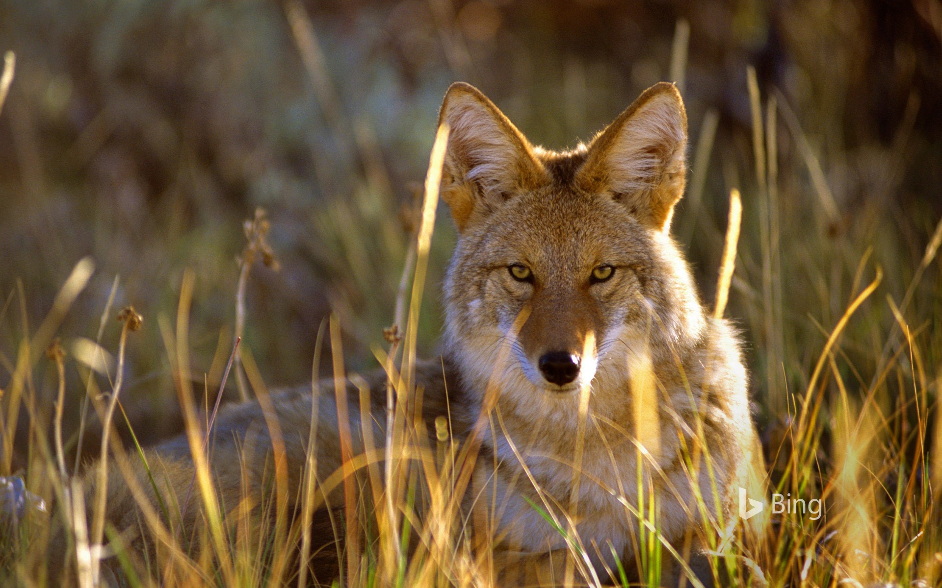 Coyote in Black Canyon of the Gunnison National Park, Colorado